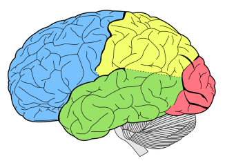 coloredbrainareas.png